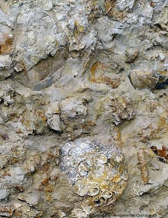 Zone où l'on voit une coquille de bivalve presque entière (en haut à gauche), et un autre bivalve recouvert de petites coquilles fixées (en bas au centre)