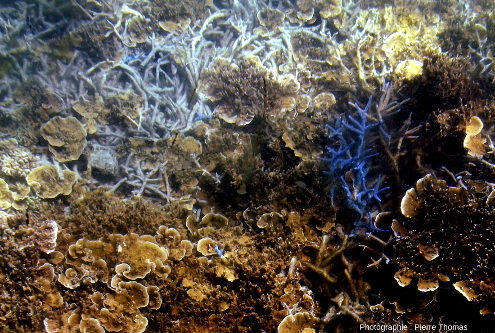 """Zone riche en diverses morphologies et couleurs de coraux: """"blancs"""" ou bleus, branchus, en spatules ou en plaquettes…"""