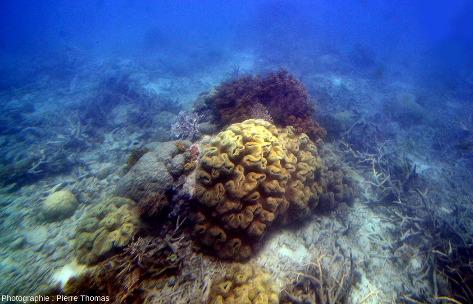 Trois coraux dits mous, car ne possédant pas d'exosquelette calcaire