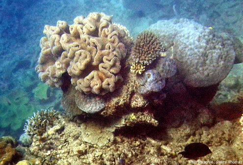 Corail mou, corail classique, corail en boule, Moore Reef, Grande Barrière de Corail (Australie)