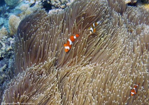 Anémone de mer au milieu de coraux et de poissons variés