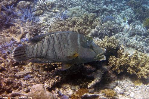 L'une des nombreuses espèces de poisson perroquet vivant dans la Grande Barrière de Corail, et source méconnue des sédiments calcaires fins