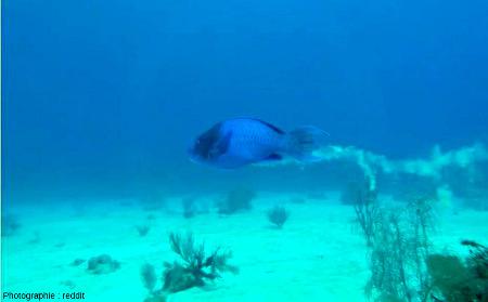 Autre espèce de poisson perroquet en train de fabriquer du sable péri-récifal tropical avec ses excréments