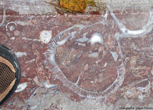 Section d'un rudiste dans une bordure de trottoir de Saint-Sébastien (Pays basque espagnol), bordure taillée dans un calcaire du Crétacé inférieur basque, calcaire rose de faciès urgonien