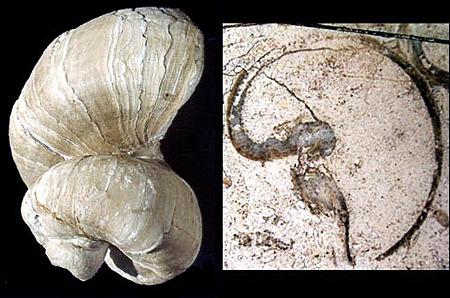 Requienia ammonia, rudiste du Barrémien (Crétacé inférieur), étage présentant le faciès Urgonien en Provence
