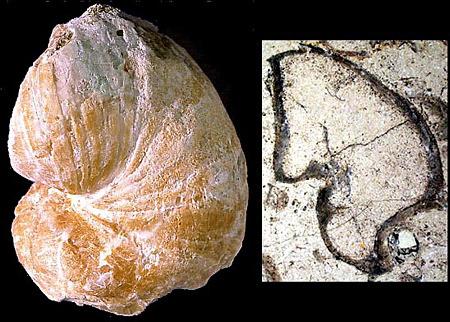 Toucasia carinata, rudiste du Barrémien (Crétacé inférieur), étage présentant le faciès Urgonien en Provence