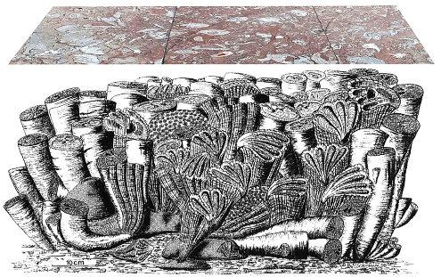 Organisation théorique d'un récif à rudistes, ici du Crétacé supérieur, alors que les dalles et trottoirs de Saint-Sébastien datent du Crétacé inférieur