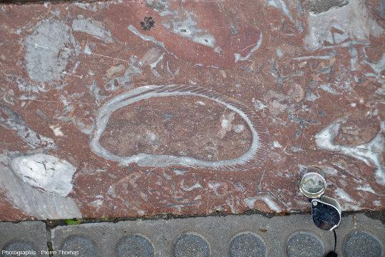 Vue rapprochée sur une bordure de trottoir à rudistes, Saint-Sébastien, Pays basque espagnol