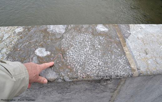 """Vue d'ensemble d'une dalle recouvrant le parapet du Puente Santa Catalina, dalle recoupant une """"gerbe"""" de coraux perpendiculairement aux """"branches"""""""