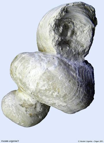 Un rudiste, Requienia ammonia, exposé au Musée Urgonia