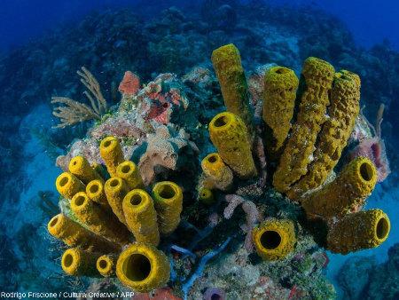 Exemple de récif à spongiaires tubulaires, sans doute Aplysina fistularis (Atlantique Ouest tropical)