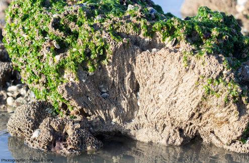 """Section naturelle d'une """"patate"""" d'hermelles dans la baie du Mont-Saint-Michel (commune de Saint-Jean-le-Thomas)"""