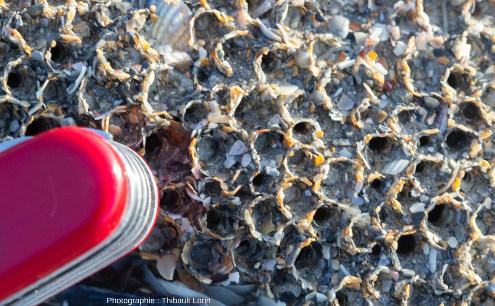 Détail de tubes à la surface d'une patate d'hermelles