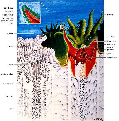 Anatomie d'un polype corallien