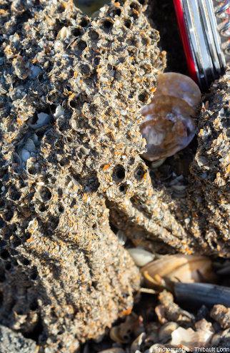 Accumulation de sable et de débris de coquilles entre les tubes d'hermelles