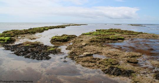 Récif à hermelles sur la côte Ouest de l'ile de Ré