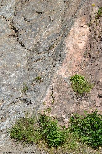 Détail du centre de la photo précédente montrant le contact net entre les sédiments schisteux gris viséens (à gauche) et le filon de microgranite rose (à droite)