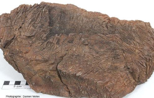 Échantillon de komatiite (ramassé dans un éboulis et ramené à Lyon) et présentant des cristaux en lame d'une dizaine de centimètre de long