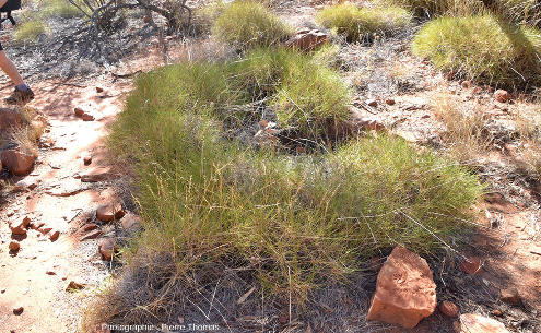 Touffe de spinifex, nom général donné par les Australiens à de nombreuses espèces de Poacées épineuses