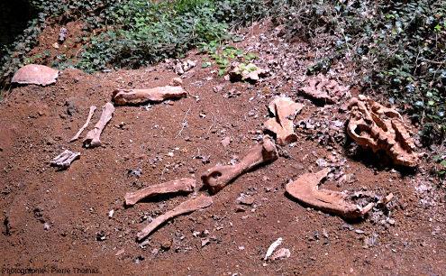 Moulage grandeur nature d'un squelette de Cadurcotherium cayluxi, Cloup d'Aural (Lot)