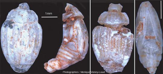 En plus des ossements largement dominants, on trouve aussi des fossiles d'insectes totalement épigénisés en phosphate, comme ces coléoptères et ces chrysalides