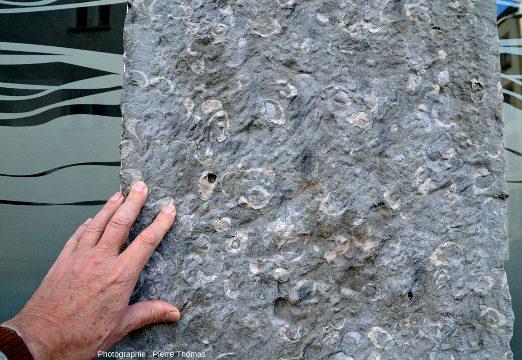Calcaire à gryphées ayant servi à construire les piliers de la devanture d'un magasin (fermé pendant le confinement)