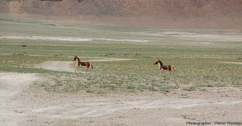 Hémiones (Equus hemionus), espèce d'âne sauvage vivant en Asie, en particulier sur les hauts plateaux tibétains et mongols