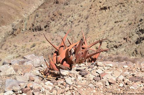Une plante xérophyte namibienne, Aloe gariepensis, espèce d'aloès de la famille des Asphodeloideae