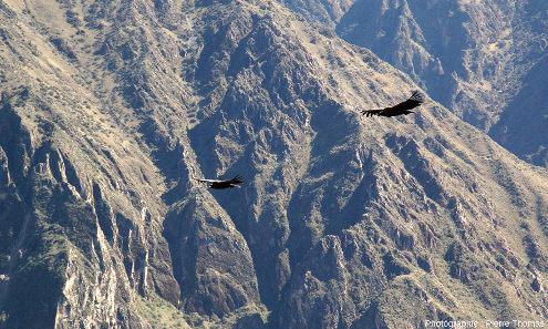 Condors des Andes (Vultur gryphus) en vol, photographiés près de la Croix du Condor (canyon de Colca, Pérou)
