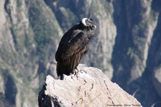 Condor des Andes (Vultur gryphus) posé sur un rocher près de la Croix du Condor (canyon de Colca, Pérou)