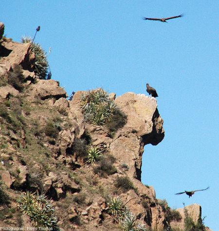 Condors des Andes (Vultur gryphus) photographiés près de la Croix du Condor (canyon de Colca, Pérou)