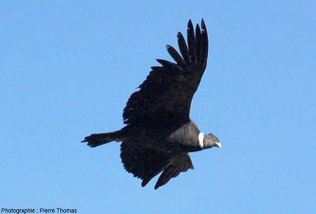 Condor des Andes (Vultur gryphus) en vol, près de la Croix du Condor (canyon de Colca, Pérou)