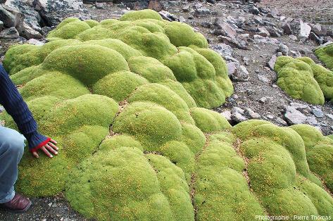 Site à Azorella compacta (anciennement Azorella yareta), plante emblématique de l'Altiplano