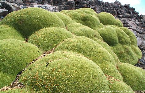"""""""Boules"""" d'Azorella compacta (anciennement Azorella yareta), plante emblématique de l'Altiplano"""