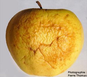 Une pomme ridée