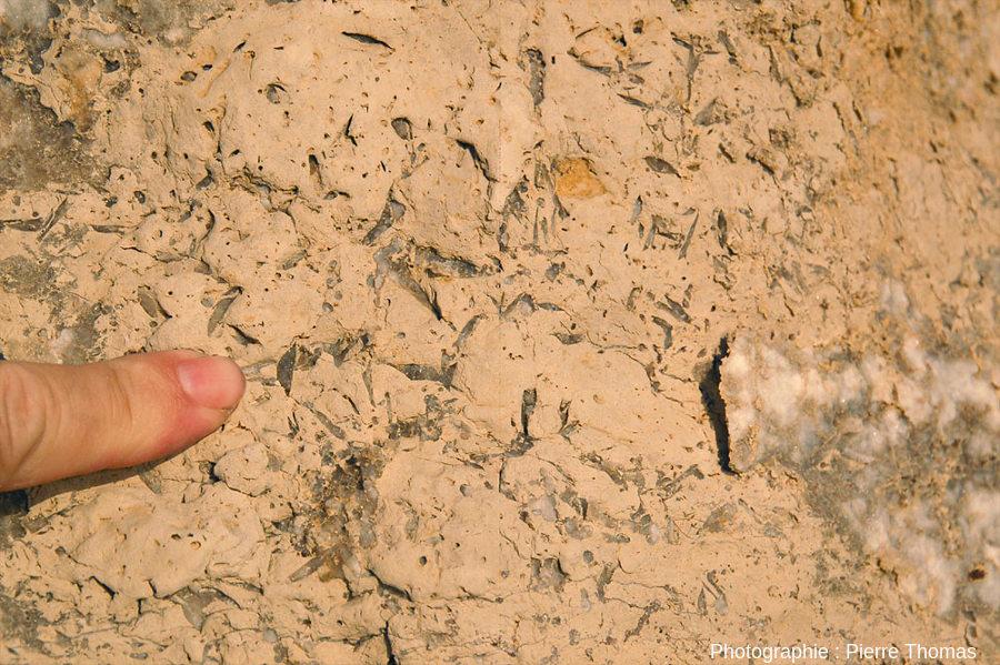 Cristaux de gypse dans des marnes argileuses lacustres oligocènes du Languedoc