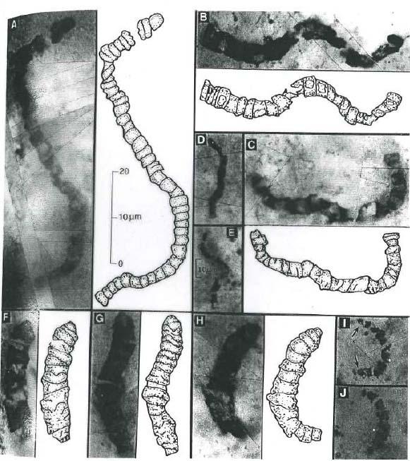 Photographie de lames minces taillées dans des sédiments siliceux de 3,5 Ga (craton de Pilbara Australie)