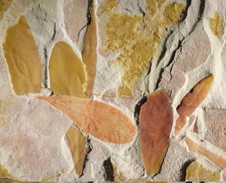 Feuilles de Glossopteris, marqueur du Permien du Gondwana