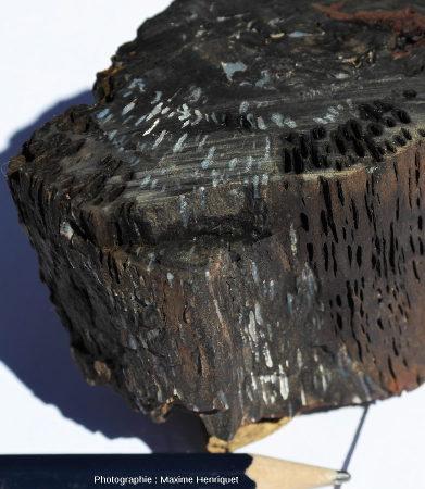 Détail d'un morceau de Glossopteris coupé transversalement, Glenrock (Australie)