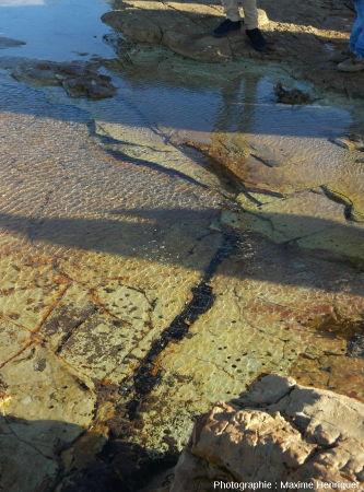 Tronc de Glossoptéris couché par la déferlante volcanique approximativement orienté Est-Ouest, Swansea Heads (Australie)