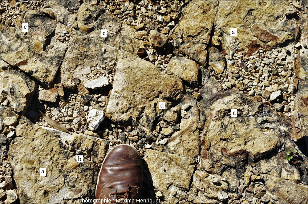Accumulation aléatoire de fossiles dans les grès fins de Mulbring, Australie