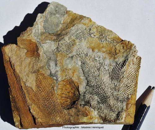 Bryozoaires (Fenestella sp.) et Brachiopode (Echinalosia davidi), carrière de Mulbring (Australie)