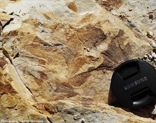 Bryozoaires (Fenestella sp.), carrière de Mulbring (Australie)