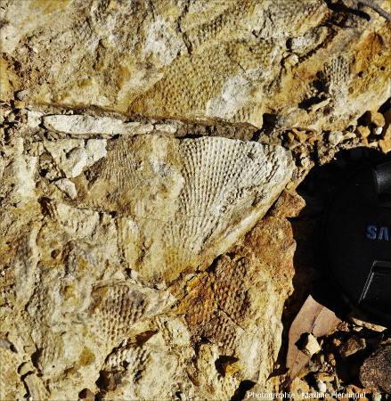 Bryozoaires (Fenestella sp. et peut-être Polypora sp.), carrière de Mulbring (Australie)