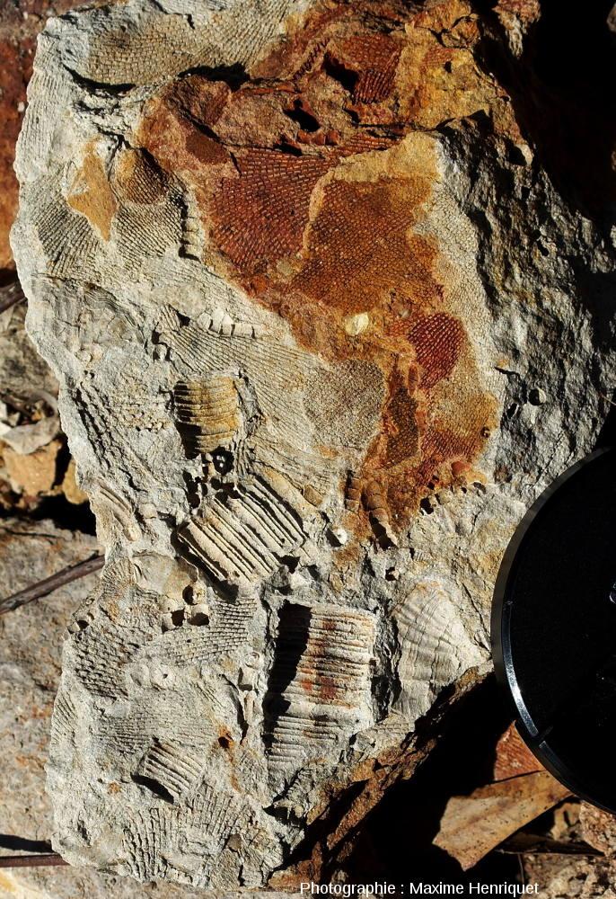 Fragments de tige de Crinoïdes et morceaux de Bryozoaires, carrière de Mulbring (Australie)