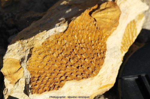 Gros plan sur un Bryozoaire (Polypora sp?), carrière de Mulbring (Australie)