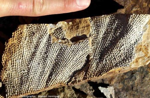 Gros plan sur des fragments de Bryozoaires, carrière de Mulbring (Australie)