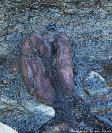Base de tronc de Glossopteris dans les dépôts pyroclastiques, Glenrock (Australie)