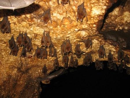 Chauves-souris dans la grotte d'Aore