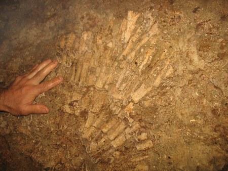 Coraux dans la paroi, grotte d'Amarur